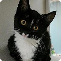 Adopt A Pet :: Sir Purr - Shoreline, WA