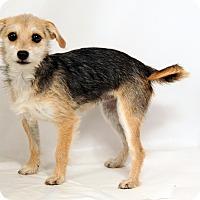 Adopt A Pet :: Isabelle Yorkiemix - St. Louis, MO