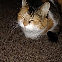 Calico Cat for adoption in Covington, Pennsylvania - Callie