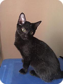 Domestic Shorthair Kitten for adoption in Jerseyville, Illinois - Binx