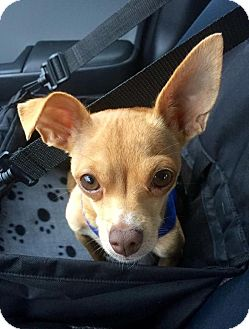 Chihuahua Mix Dog for adoption in AUSTIN, Texas - Dixie