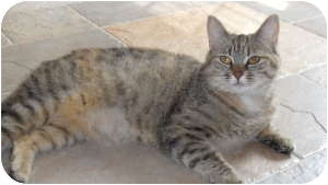 Domestic Shorthair Cat for adoption in Raritan, New Jersey - Kiwi