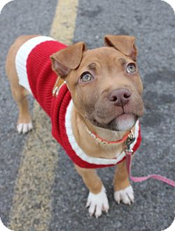 American Pit Bull Terrier Mix Puppy for adoption in Staatsburg, New York - Claire