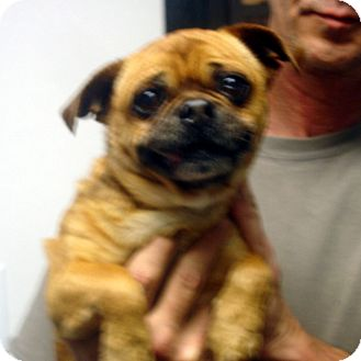 Pug Mix Dog for adoption in baltimore, Maryland - Abraham