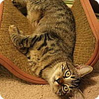 Domestic Shorthair Kitten for adoption in Pensacola, Florida - Kaylee