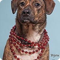 Adopt A Pet :: Bijou - Westfield, NY