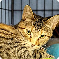 Domestic Shorthair Cat for adoption in Houston, Texas - CC (Cautious Cat)