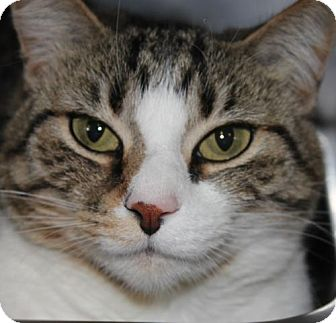 Domestic Shorthair Cat for adoption in Clayton, New Jersey - KITTY