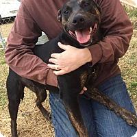 Adopt A Pet :: Lemonade - Rexford, NY