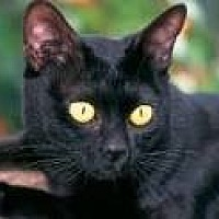 Bombay Cat for adoption in Sunny Isles Beach, Florida - Billie