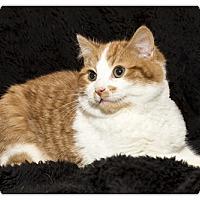 Adopt A Pet :: Rummy - Mt. Prospect, IL