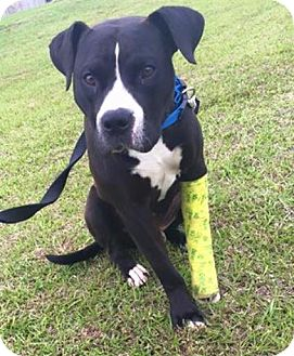 American Staffordshire Terrier Mix Dog for adoption in Jacksonville, North Carolina - Ralph