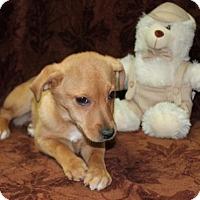Adopt A Pet :: Angelina - Spring Valley, NY