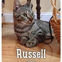 Adopt A Pet :: Russell - Merrifield, VA