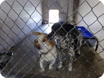 Beagle Dog for adoption in Osceola, Arkansas - Sugar and Spot