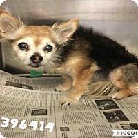 Adopt A Pet :: MATTIE - San Antonio, TX