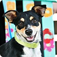 Adopt A Pet :: Little Bit - Houston, TX