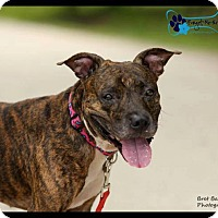 American Staffordshire Terrier Mix Dog for adoption in Sarasota, Florida - Scooby Doo