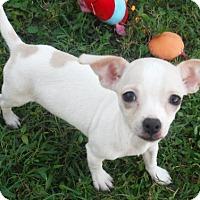 Adopt A Pet :: Blossom - Manchester, NH
