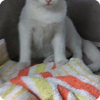 Adopt A Pet :: Ivory - Bayside, NY