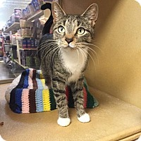 Domestic Shorthair Cat for adoption in Albany, New York - Minerva