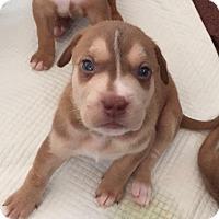 Adopt A Pet :: Leonardo - Burlington, NJ
