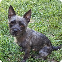 Yorkie, Yorkshire Terrier/Schnauzer (Miniature) Mix Dog for adoption in Staten Island, New York - Brodie