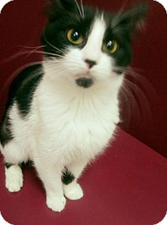 Domestic Shorthair Cat for adoption in Muscatine, Iowa - Maizey