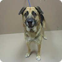 German Shepherd Dog Mix Dog for adoption in Reno, Nevada - POWER RANGER