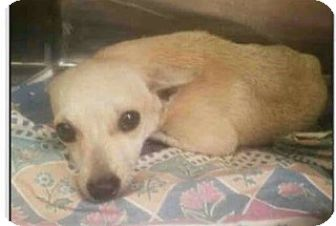 Chihuahua/Airedale Terrier Mix Dog for adoption in ROSENBERG, Texas - Joey