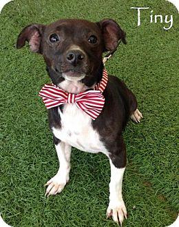 Corgi Mix Puppy for adoption in San Diego, California - Tiny