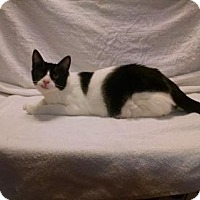 Domestic Longhair Kitten for adoption in Antioch, California - Ella