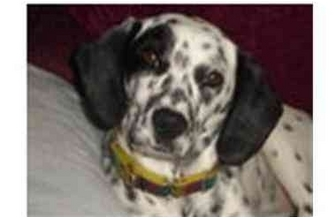 Dalmatian Mix Dog for adoption in Milwaukee, Wisconsin - Hope