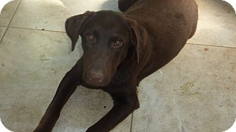 Labrador Retriever Dog for adoption in Raleigh, North Carolina - COCOA