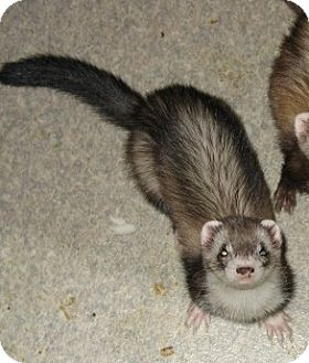 Ferret for adoption in Eugene, Oregon - Betsy