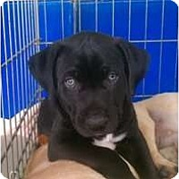 Adopt A Pet :: Star - Justin, TX