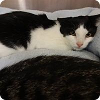 Adopt A Pet :: Cocoa Puff - Colmar, PA