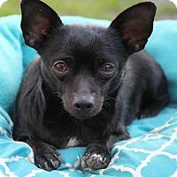 Adopt A Pet :: Angel - Yuba City, CA