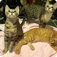 Adopt A Pet :: Adorable Kittens - Metairie, LA