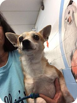 Chihuahua Mix Dog for adoption in Evansville, Indiana - Gizmo
