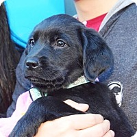 Adopt A Pet :: Garnet - New York, NY