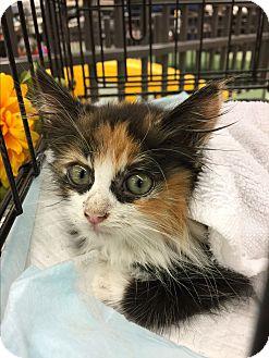 Calico Kitten for adoption in beverly hills, California - Zelda