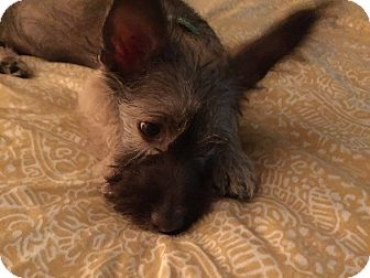 Terrier (Unknown Type, Small)/Skye Terrier Mix Puppy for adoption in La Verne, California - Dexter