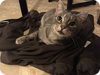 Domestic Shorthair Cat for adoption in THORNHILL, Ontario - Shelby