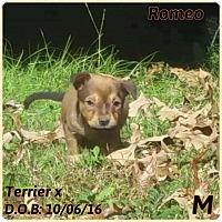 Adopt A Pet :: Romeo - DeForest, WI