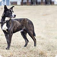 Adopt A Pet :: Maverick - Cashiers, NC