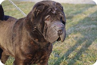 Shar Pei Dog for adoption in Elyria, Ohio - Achmed-Prison Dog