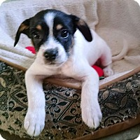 Adopt A Pet :: Lady - Richmond, VA