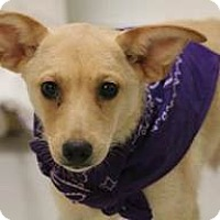 American Eskimo Dog Mix Dog for adoption in edison, New Jersey - Gage