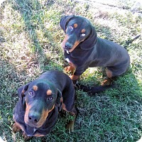 Adopt A Pet :: Bart - Waller, TX